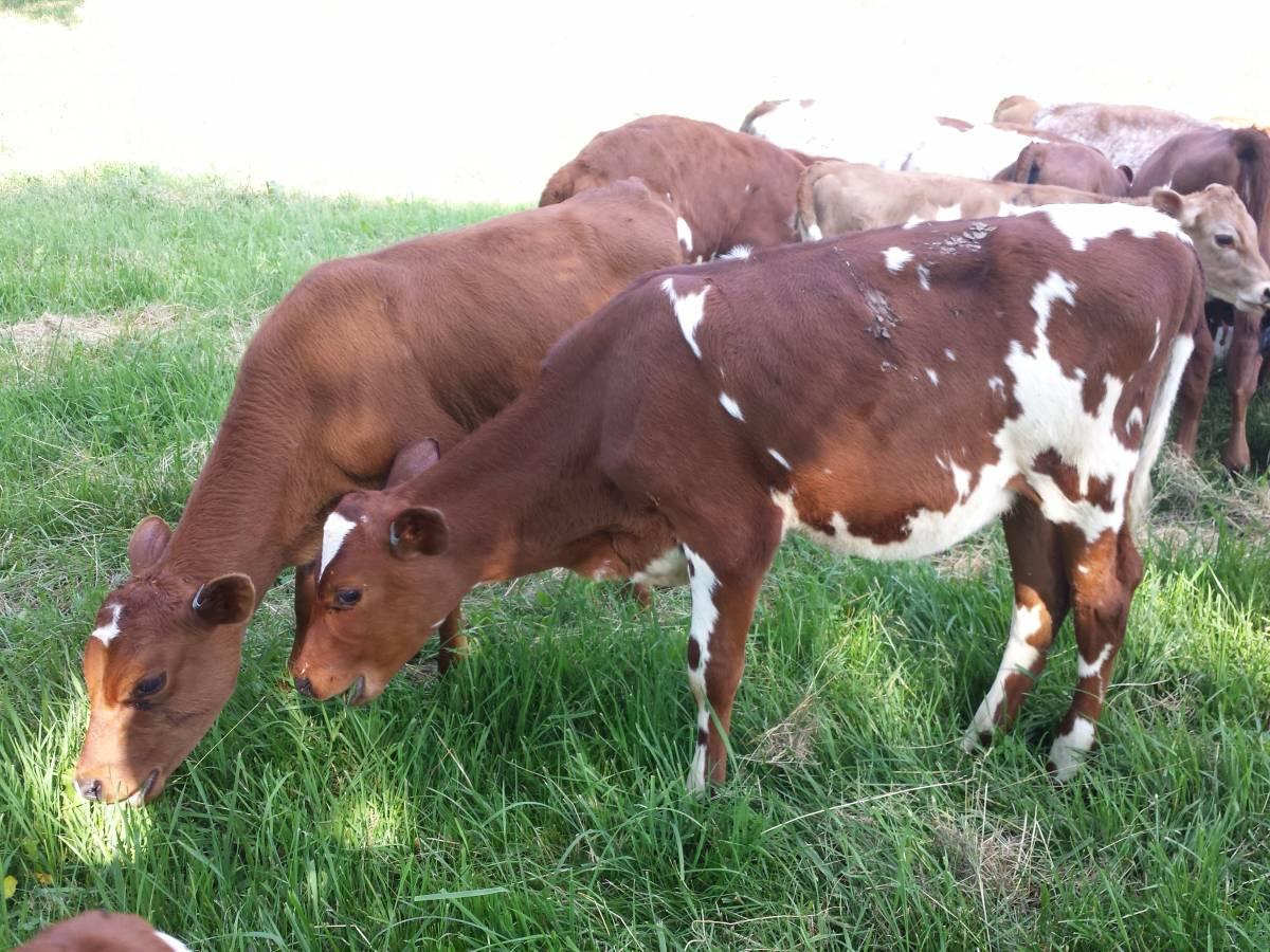 calves grazing on the green summer grass